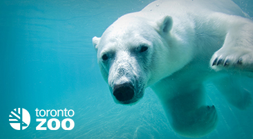 Polar bear swimming under water